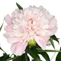 100 peonies for $329 delivered 2 days before the wedding.  Beautiful as centerpieces.