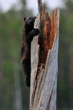 Photograph Wolverine climbing by Erik Mandre on 500px