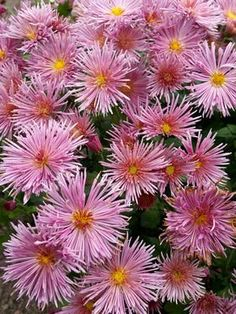 Pink Quill mum