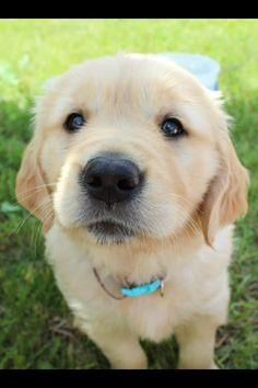 Golden retriever puppy named Bailey!