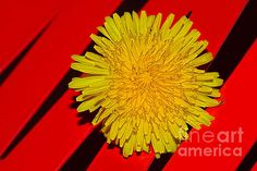 #YELLOW ON #RED - #DANDELION by #Kaye #Menner #Photography Quality Prints Cards and more at: http://kaye-menner.artistwebsites.com/featured/yellow-on-red-dandelion-by-kaye-menner-kaye-menner.html