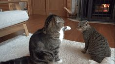Maru And His Little Sister Play Fight While Being Adorable