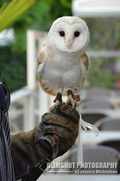 Ring in laten vliegen door een uil of een andere roofvogel. Foto van http://www.elite-falconry.com