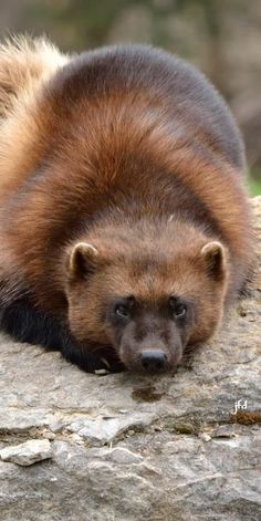 Wolverine (/ˈwʊlvəriːn/) (also spelled wolverene), Gulo gulo (Gulo is Latin . Wolverine Animal, Mon Zoo, Animals Beautiful, Cute Animals, River Otter, Animals Of The World, Animals Planet, Wild Creatures, Otters