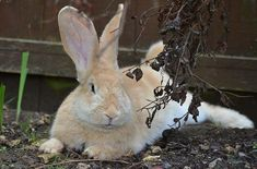 The Continental Giant Rabbit is of the oldest and largest rabbit breeds. This rabbit breed is intelligent, friendly, and easy to train. Large Rabbit Breeds, Large Rabbits, House Rabbit, Pet Rabbit, Giant Bunny, Rabbit Pictures, Raising Rabbits, Bunny Care, Rabbit Hutches