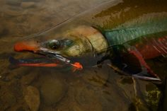Dolly varden on the fly.