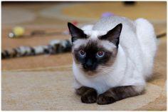 una gattina Thai dal nome Veda...o Lulù...!!!