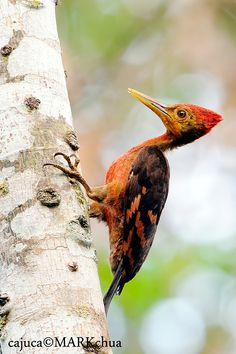 Orange-backed Woodpecker Reinwardtipicus validus - Google Search