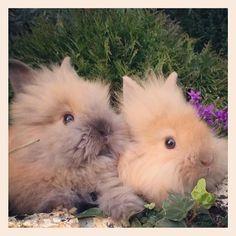9 Marzo.. Cuccioli ariete Nano, Testa di Leone e Nani Colorati disponibili! - Allevamento conigli Nani
