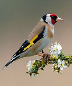 European goldfinch on sloe blossom Love the red in the facial features...pretty with other colors esp the yellow that stands out too!!!