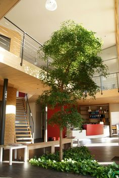 Indoor tree - would love this in an entry area or the main living space