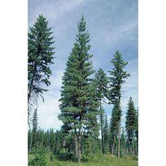 10 Western White Pine Tree Seeds - Pinus Monticola