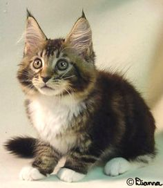 Maine Coon kitten.