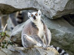 Sadly, this is the only usable lemur photo of this series, but I like how he was posing!