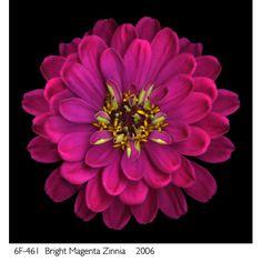 magenta zinnia - lasting affection
