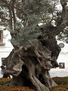 Viejo olivo, Palma de Mallorca, España.