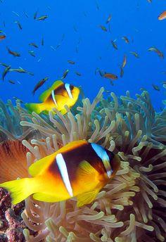 Anemone fish at Gota Kebir, St John's reefs, Red Sea, Egypt #SCUBA by Derek Keats, via Flickr