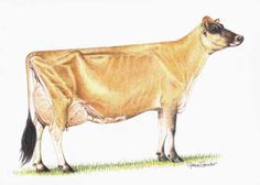 Ideal Jersey Cow