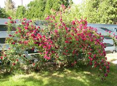Our climbing roses