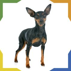 Everything about the Miniature Pinscher dog breed. Discover Mini Pin coloring, sizing, traits, lifespan, and compare Mini Pins to other dog breeds. Miniature Dog Breeds, Miniature Pinscher, Dog Training Books, Best Dog Training, Large Dogs, Small Dogs, Dog Shop, Doberman Pinscher, Small Dog Breeds
