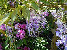 Blåregnet _Wisteria sinensis_ 'Caroline' med rododendron. Foto: Sylvia Svensson
