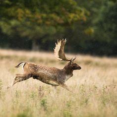 Animals Beautiful, Cute Animals, Hunting Tattoos, Big Deer, Deer Running, Fallow Deer, British Wildlife, Mountain Man, Wildlife Photography