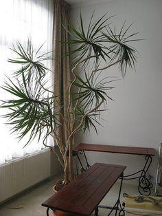 La drácena, drácena marginata o dracaena de hoja fina (Dracaena marginata Lam.) es una fanerógama de la familia Asparagaceae, anteriormente incluida en Ruscaceae, originaria de Madagascar.