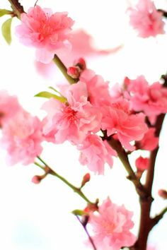 Mademoiselle Mermaid's Friday Flower Pick: Pink Blossoms - Happy Valentine's Day!!