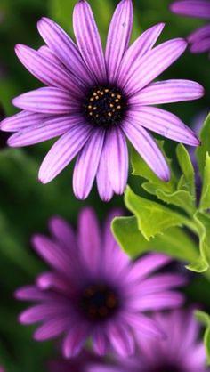 Purple Daisy!!!