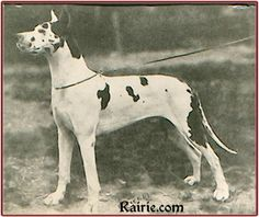 """CH Prinz Fuchs, harl, blue carrier. Born 1916. There are twenty-one litters sired by him on record, all whelped between 1920 and 1922! He was used by some of the top harl breeders of the day – four times by his owner Andreas Brunner's Tipp Topp kennels in Munich and twice by Joseph Stehberger's v Obertraubling kennels. Fritz Mezger, also of Munich, was the first to use him, twice in 1920 for his v Riesenfeld line. He's a perfect example of how the """"s gene"""" creates """"clean"""" harls."""