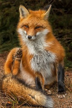 Red Fox by Steve Dunsford on 500px