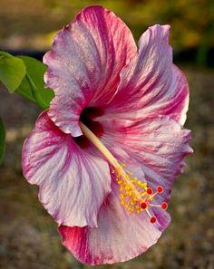 Hibiscus – Home Decor Gardening Flowers Hibiscus Plant, Hibiscus Flowers, Tropical Flowers, Exotic Flowers, Tropical Plants, Flowers Gif, Real Flowers, Pretty Flowers, Rosa China