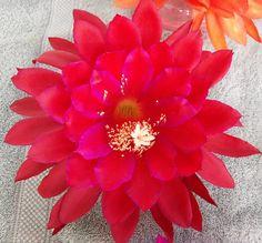 Orchid Cactus Epiphyllum