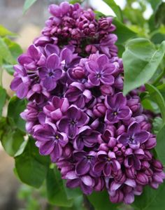 Lilac. Smell lovely!