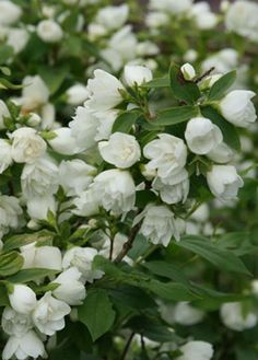 Philadelphus Manteau d'Hermine - Low growing variety of the mock orange shrub. Creamy-white flowers in June & July Love Flowers, Colorful Flowers, White Flowers, Beautiful Flowers, Moon Garden, Dream Garden, White Gardens, Small Gardens, Garden Shrubs