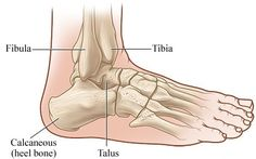 Ankle Joint : Anatomy, Movement & Muscle involvement » How To Relief Lower Leg Muscles, Ankle Joint, Anatomy, Bones, Legs, Study, Image, Studio, Studying