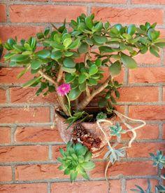 Crassula e fiore rosa
