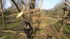 Not on my watch: Chimp swats film crew's drone - http://scienceblog.com/80025/watch-chimp-swats-film-crews-drone/