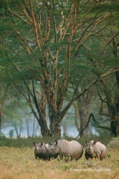 Rhinos - Kenya, Africa