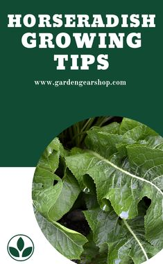 How To Grow Horseradish. Learn Hot to Grow Horseradish from seeds, and discover the benefits of Horseradish that make them worth the extra garden space. #gardengearshop #Horseradish Horseradish Plant, Growing Horseradish, Gardening For Dummies, Gardening Tips, Kitchen Gardening, Planting Vegetables, Root Vegetables, Vegetable Gardening, Rose Garden Portland