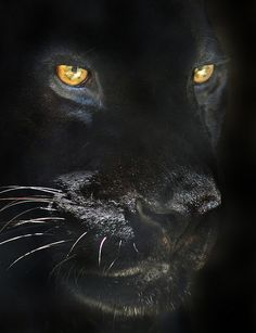 """Black is beautiful"" (Orson the Jaguar, San Diego Zoo) by Stinkersmell (Ion Moe), via Flickr"