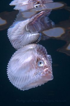 Knobby Argonau A Species Of Pelagic Octapus