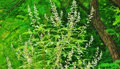 Nirgundi is a herb, having quite similar look as Basil. It is an Ayurvedic herb with numerous health benefits in it. Many of us are still unaware of it. Let us see the health benefits of Nirgundi. In Ayurveda, Nirgundi/Five leaved chaste is an extraordinary and miraculous herb. The power and efficacy of the herb …