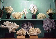 Deyrolle - Coral
