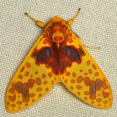Tiger moth, Amaxia pulchra | by Ecuador Megadiverso