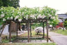 2011 June 白藤(マメ科)薬師寺さんから移された藤。白い花が終わると淡いピンクの花を咲かせます。量は年によっていろいろ