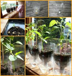 Grow your own seelings indoors with this self watering system - http://theownerbuildernetwork.co/easy-diy-projects/diy-garden-projects/diy-planters/diy-self-watering-seed-starter-pots/