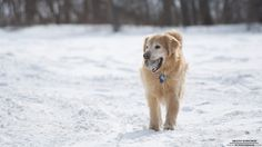 A Golden Retriever playing catch on a cold, snowy field.