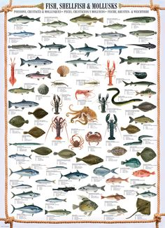 Fish, Shellfish and Mollusks Wall Chart Poster Species) Poster - Eurographics Bass Fishing Tips, Gone Fishing, Best Fishing, Trout Fishing, Kayak Fishing, Salmon Fishing, Fishing Basics, Fishing Tricks, Fishing Stuff