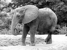 Elephant at Pittsburgh Zoo - June 2011.  Taken by MWest